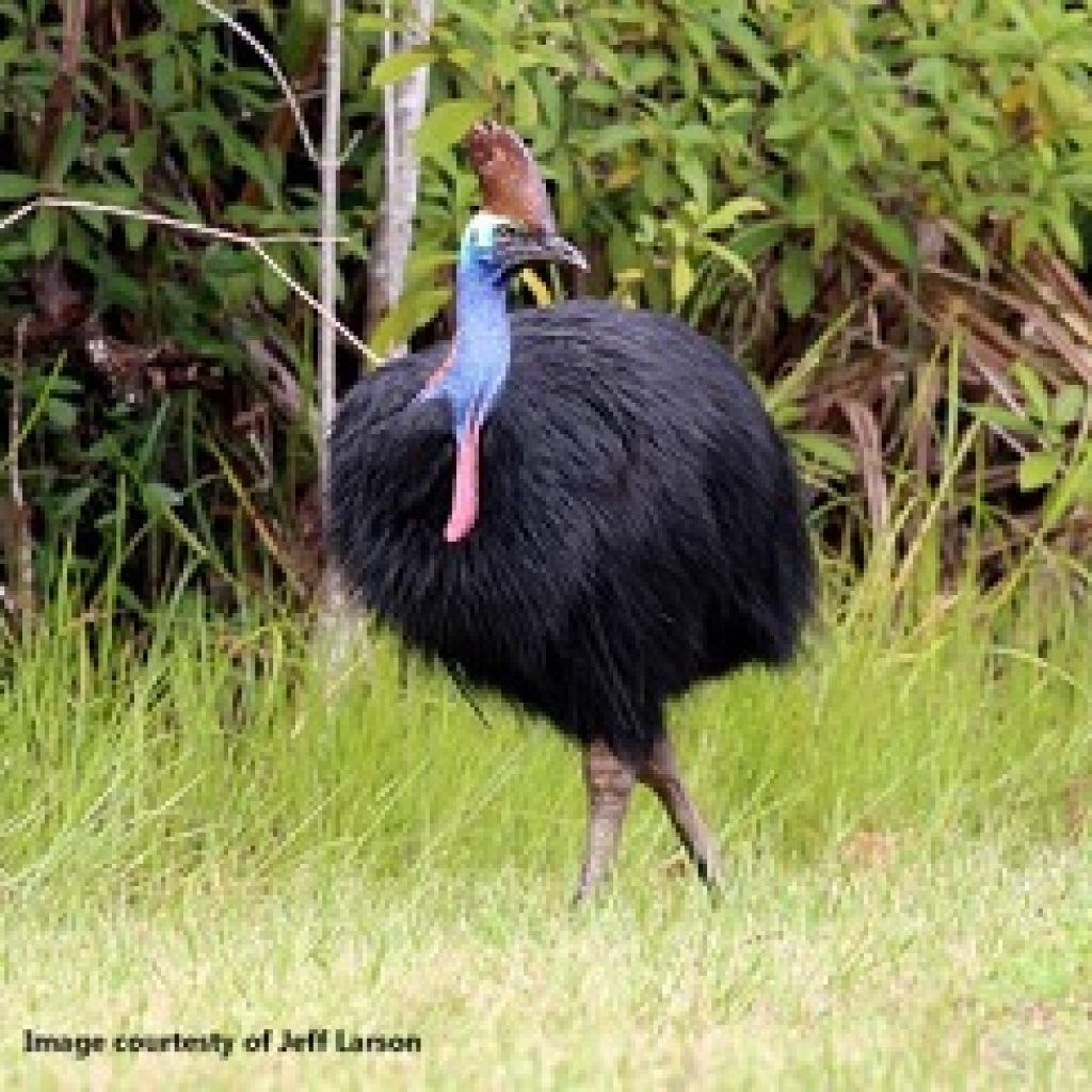 Grants for Cassowary, Mabi Forest projects