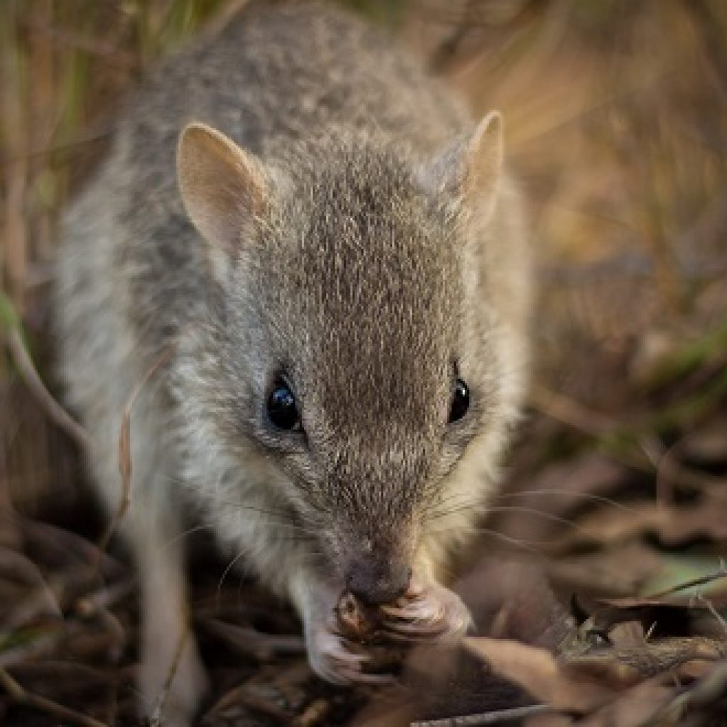 New bettong project