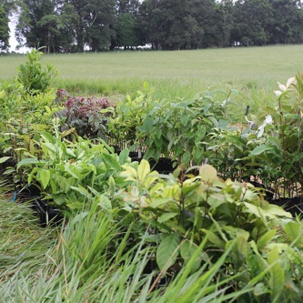 Tree-planting to strengthen creekbanks